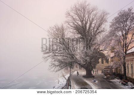 Big Tree On Embankment In Fog And Hoarfrost