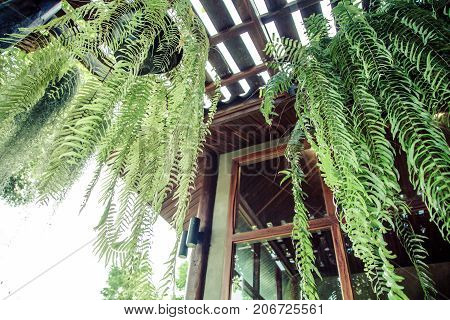 Boston Fern is a very popular house plantoften grown in hanging baskets or similar conditions.