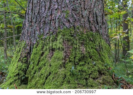 Close-up of a large mossy Tree in the Forest. View on a Big mossy Tree. Nature Backgrounds.