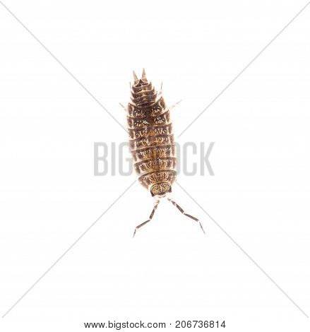 beetle wood louse isolated on white background