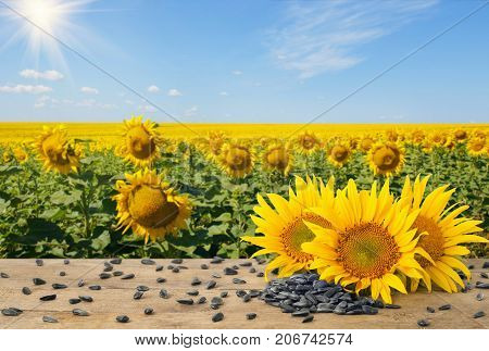 heap of sunflower seeds and fresh sunflowers on wooden table with natural background. Blooming sunflower field with blue sky and sun. Agriculture and harvest concept