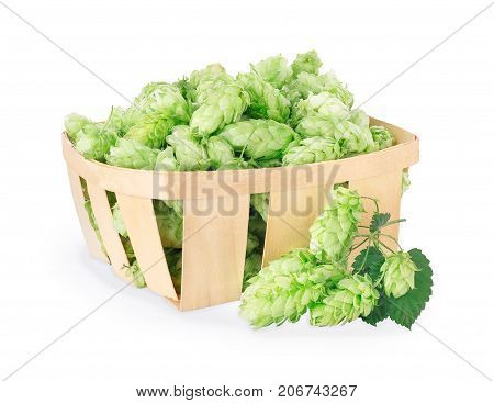 Fresh green hops in wooden basket and branch near isolated on white background with clipping path. Hop cones for beer. Ingredient for brewing