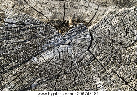 cut tree remnants, learning the age of the old tree, fossilized old wood residues.