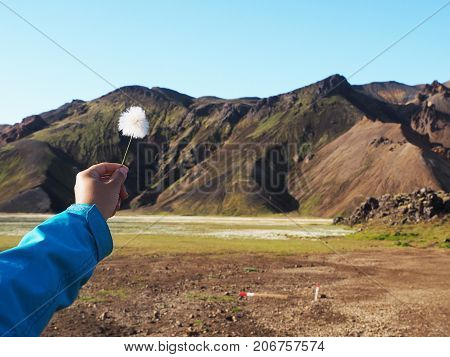 A female hand holds a cotton grass marsh flower against a backdrop of colored mountains the Landmannalaugar Valley Iceland