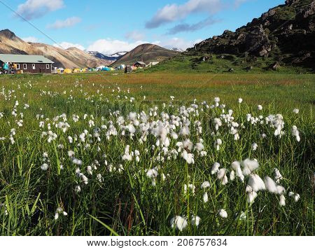 Camping on the background of white flowers and colored mountains in the Landmannalaugar valley Iceland