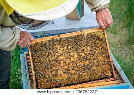 The beekeeper looks at the bee family. Frame with working bees and larvae of bees