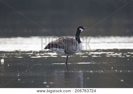 Canada Goose Standing on One Leg in water.
