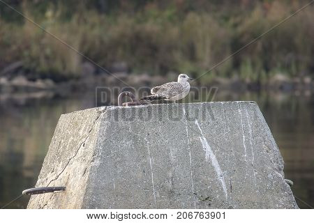 A Juvenile Common Gull on concrete block.