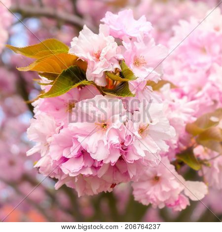Blossoming tree detail with pink and white blossoms