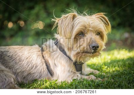 Dog resting in the grass of a park. Copy space, blurred green background. Doggy hairy ear, nose and snout, Yorkshire Terrier brown. Hey what's up, curiosity expression