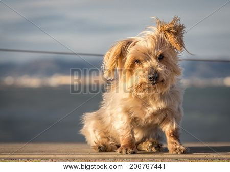 Expressive dog with, blurred nautical background. Doggy hairy ear flying in the wind, nose and snout, Yorkshire Terrier brown. Hey what's up, curiosity expression