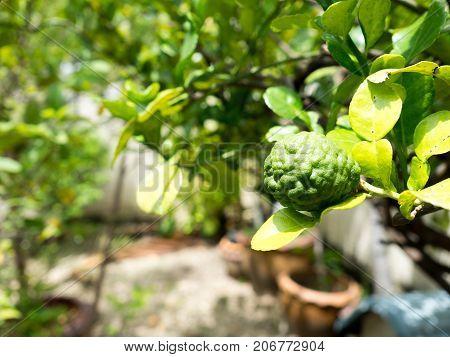 Closeup green bergamot or Kaffir lime on tree. and bergamot tree have a Leaf disease.