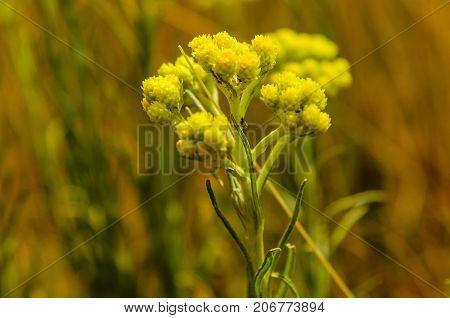 Helichrysum arenarium on a meadow on summer