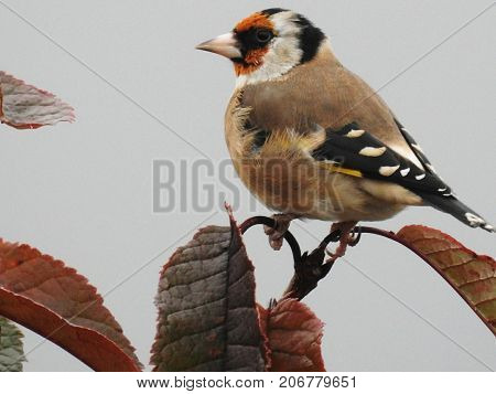 Goldfinch sitting on top of a tree
