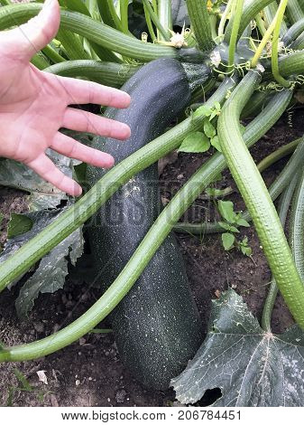 A large green maturity Courgettes in comparison to my hand