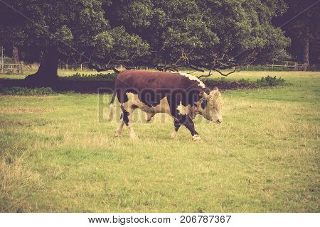 Simmental Bull in field close to Lacock village Wiltshire England UK