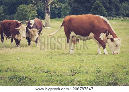 A cow nd a bulb watching another cow grazing close to Lacock village Wiltshire England UK