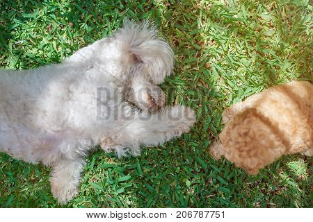Poodle dog play with puppy on green grass summer background