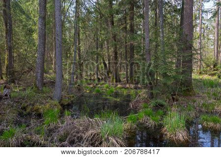 Old alder trees among spruces in springtime view of wet natural stand, Bialowieza Forest, Poland, Europe