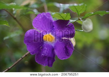 King's mantle purple yellow flower rain drop