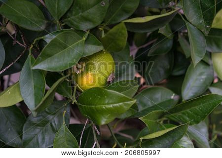 bug insect sitting on citrus sinensis ripe orange fruit hanging from plant close up macro
