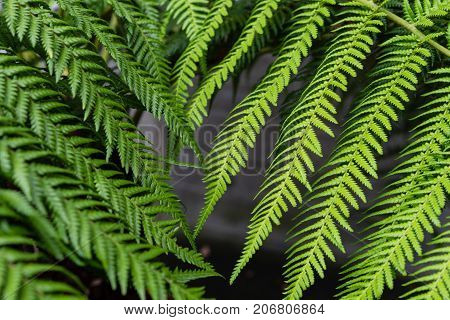 leaves from fougere from dicksonia antarctica plant for background texture design macro