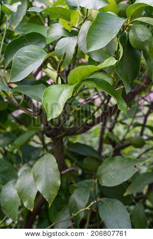 leaf leaves from citrus sinensis orange close up view green plant summer