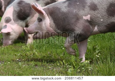 Pink colored spotted pig runs across green meadow