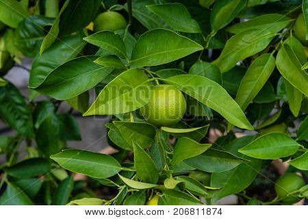 many fruits on plant from citrus sinensis orange tree close up