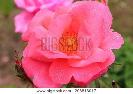 Pink rose flower with dewdrops on the petals during summer