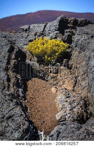 Volcanic Vegetation, Piton De La Fournaise, Reunion Island