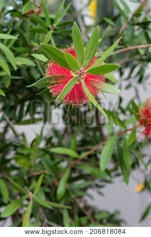 red flower of callistemon citrinus myrtaceae plant cylinder cleaning plant from Mediterranean Sea Area close up