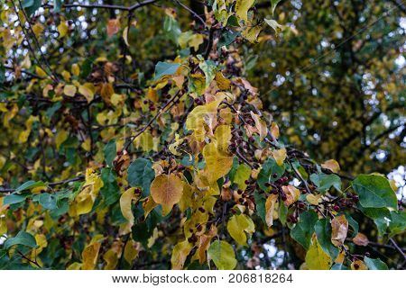 yellow and green leaves on tree in autumn season changing colour leaf