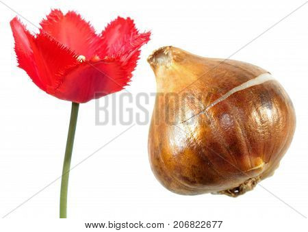 Red fringed tulip flower with tulip bulb isolated on white background