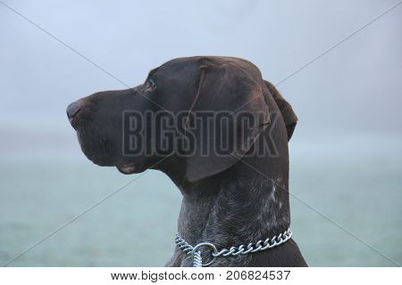 German Shorthaired Pointer two year old male brown and white
