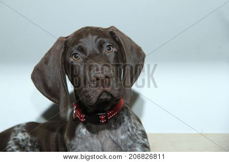 German shorthaired pointer puppy 10 weeks old