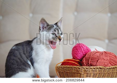 Cat making silly face. Portrait of tabby cat on sofa yawning with funny face. Kitten yawns while sitting on sofa next to a basket of yarn.