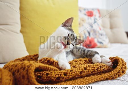 Kitten licking his paw and cleaning himself while laying on sofa in sunny living room.