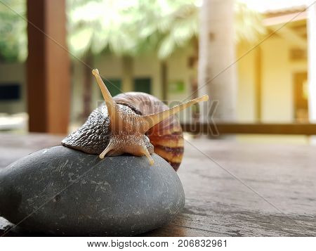 Snail crawling on the wood table Burgundy snaila terrestrial