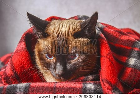 The Siamese Thai Cat Is Wrapped In A Plaid With A Soft Toy. The Concept Of Autumn, Winter, Cold. Wai