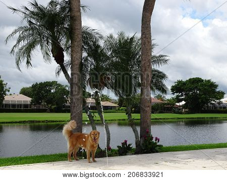 Golden Retriever Plays In The Yard
