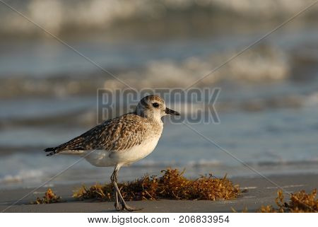 Bairds sandpiper is a small to medium sized sandpiper often seen on Padre Island National Seashore.
