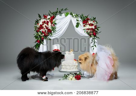 Beautiful spitz wedding couple eating dog cake under flower arch over grey background. dog bride in skirt and veil. groom in suit and silk hat. happy newlyweds. copy space.
