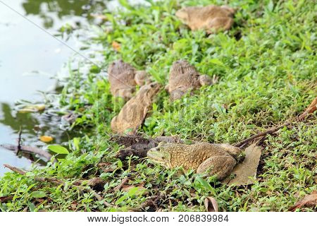 Group of marsh frogs sitting on the grass near a pond edible frog nature wildlife.