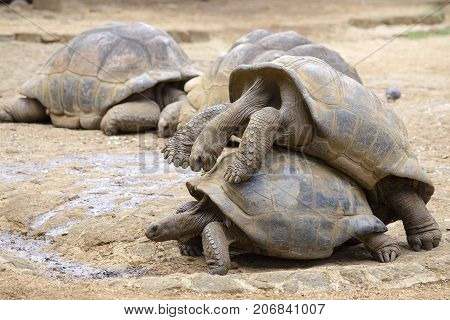 Two giant turtles dipsochelys gigantea making love in island Mauritius. Copulation is a difficult endeavour for these animals as the shells make mounting extremely awkward