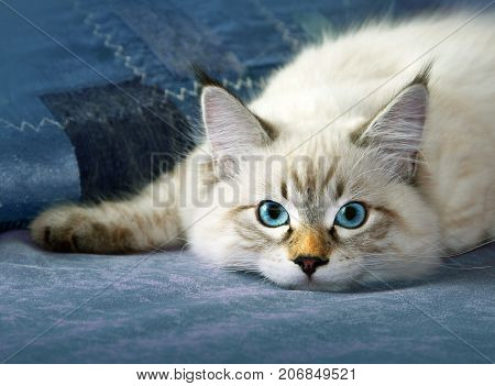 Siberian neva masquarade colorpoint kitten in home interior