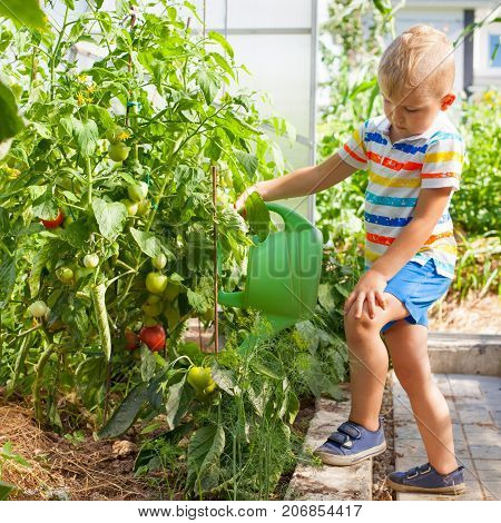 A Cheerful, Suntanned Blond Boy Watering Tomatoes In A Greenhouse.