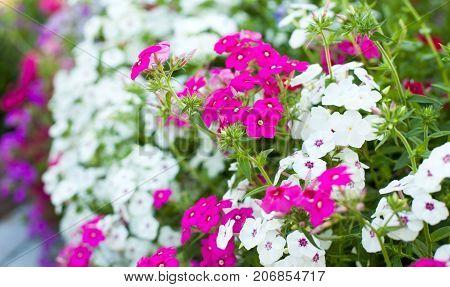 Bright Garden Flowers On The Flowerbed.