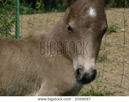 Pony colt, one day old
