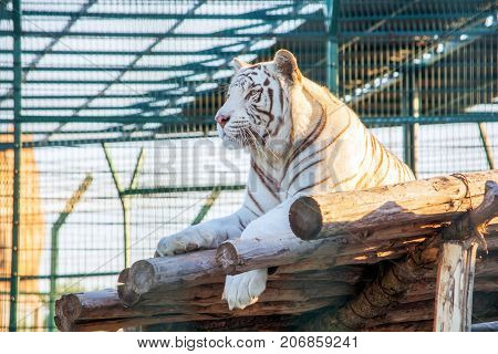 The white tiger sits on logs in the cage of the zoo. A wild animal in captivity.